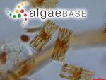Bacillaria flocculosa (Roth) Leiblein