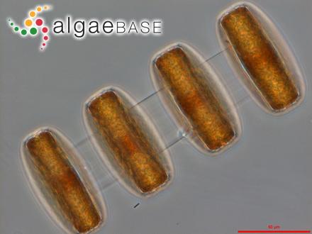 Cystophora monilifera J.Agardh
