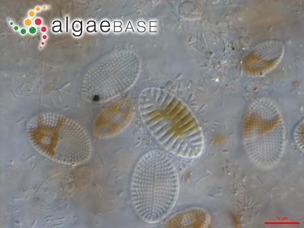 Laminaria digitata f. longipes (Foslie) Kjellman
