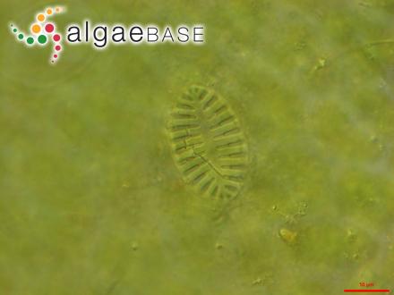 Laminaria intermedia f. longipes Foslie