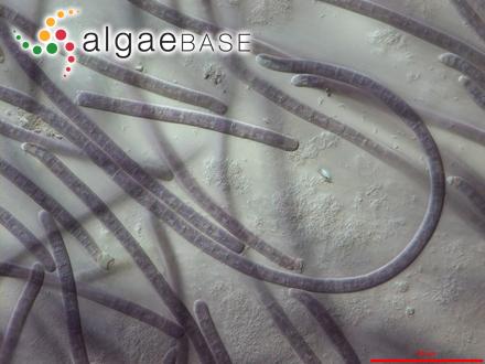 Sargassum biforme var. isophyllum Sonder