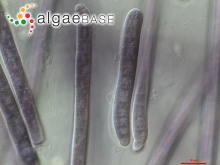 Sargassum isophyllum (Sonder) J.Agardh