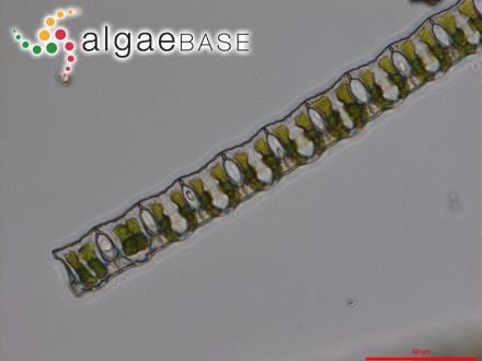 Polysiphonia polyspora (C.Agardh) Montagne