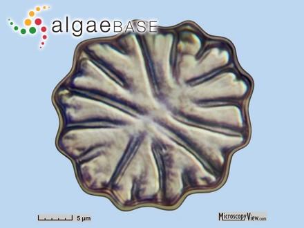 Audouinella incrassata (Ercegovic) Conde-Poyales