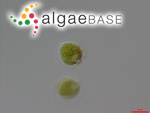 Cryptoglena angulosa H.J.Carter