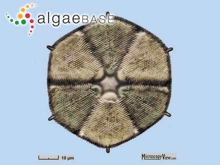 Antarctosaccion applanatum (Gain) Delépine