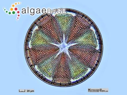 Lyngbya anomala (C.B.Rao) Umezaki & Watanabe