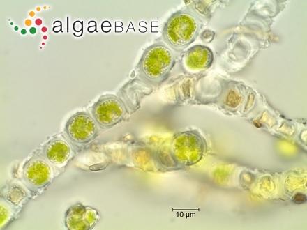 Trachysphenia australis P.Petit