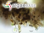 Audouinella pygmaea (Kützing) Weber Bosse