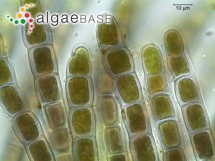 Hirsutithallia laricina (Harvey) Wollaston & Womersley