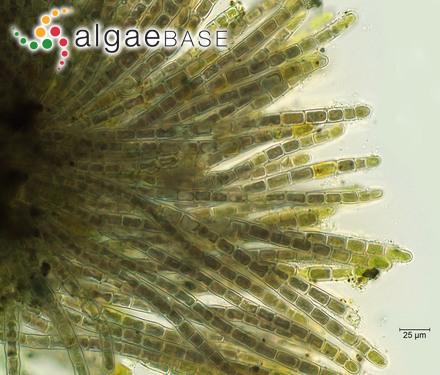 Lithothamnium rubrum Philippi
