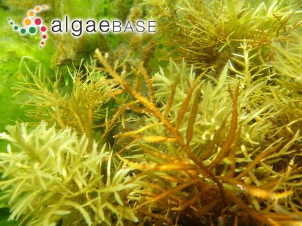 Audouinella arnoldii (Weber Bosse) Garbary