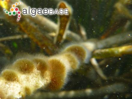Dichotomaria fragilis Lamarck