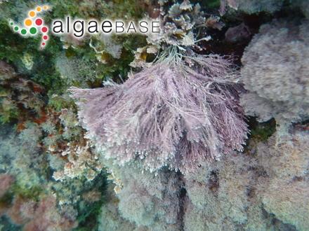Acrochaetium blomquistii Aziz