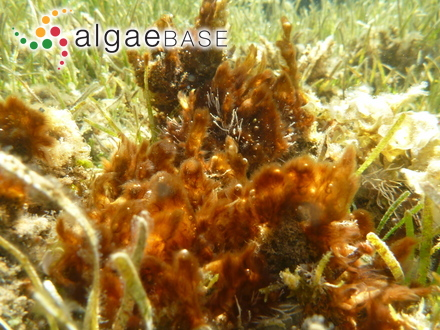 Gymnophlaea gracilis Kützing