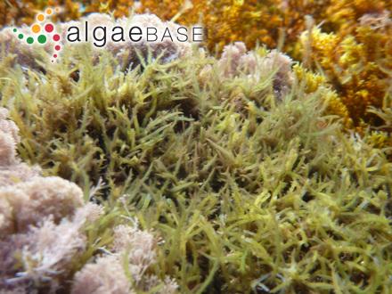 Gymnophlaea gracilis G.Martens