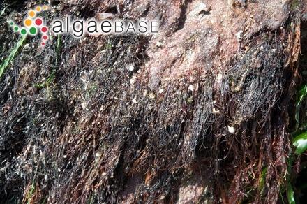 Calosiphonia californica (Farlow) J.Agardh