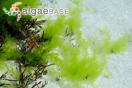 Helminthora antillarum P.Crouan & H.Crouan