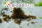 Polysiphonia saccorhiza (Collins & Hervey) Hollenberg
