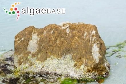 Agardhiella ramosissima var. dilatata J.Agardh