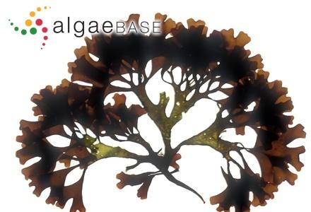 Spongopsis mediterranea Kützing