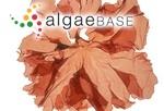 Polyneura bonnemaisonii (C.Agardh) Maggs & Hommersand