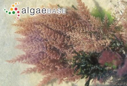 Antarctocolax lambii Skottsberg