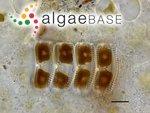 Achnanthes brevipes C.Agardh