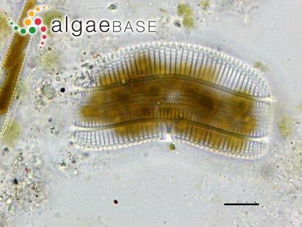Peleophycus multiprocarpius I.A.Abbott