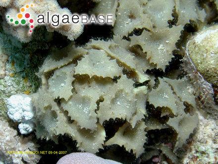 Gymnogongrus coriaceus (Kützing) Grunow