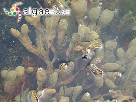 Gigartina klenzeana (Kützing) Sonder
