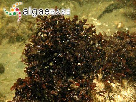 Sebdenia polydactyla (Børgesen) M.Balakrishnan