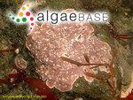 Phymatolithon lenormandii (Areschoug) Adey