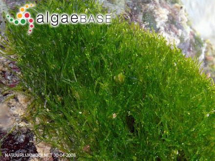 Chaetomorpha antennina (Bory) Kützing