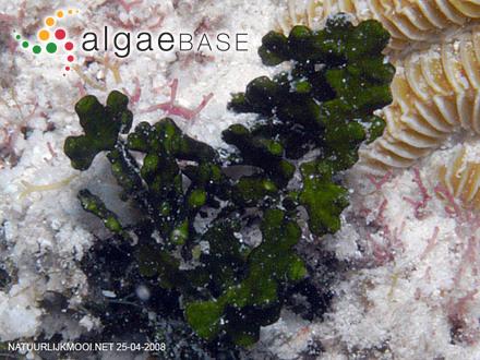 Plocamium fullerae F.Schmitz ex Mazza