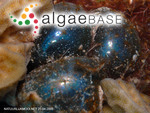 Ventricaria ventricosa (J.Agardh) J.L.Olsen & J.A.West