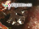 Sphaerococcus laciniatus (Hudson) Lyngbye