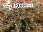 Chloronitum rupestre (Linnaeus) Gallion
