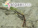 Cymodocea nodosa (Ucria) Ascherson