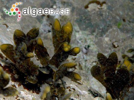 Sarcomenia miniata (C.Agardh) J.Agardh