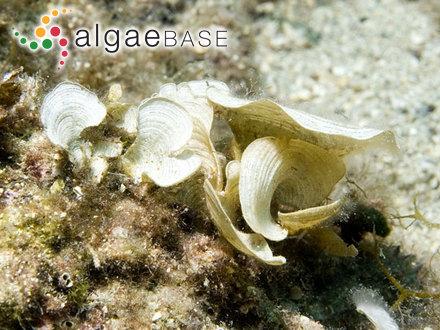 Acanthophora orientalis J.Agardh