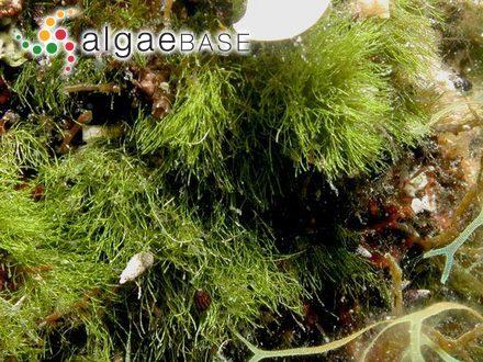 Acanthophora wightii J.Agardh