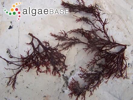 Bostrychia tenella var. terrestris J.Agardh