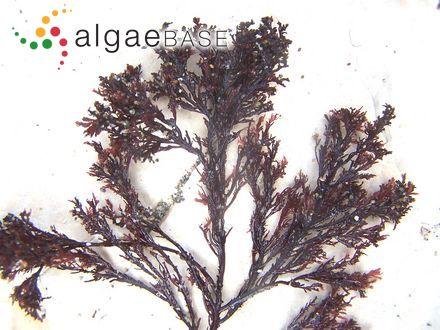 Bostrychia binderi f. terrestris (J.Agardh) E.Post