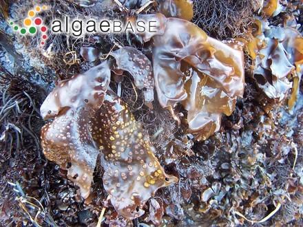 Bostrychia muscoides P.Crouan & H.Crouan
