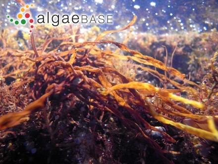 Corallopsis australasica Sonder