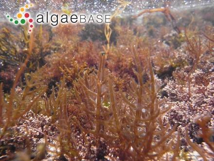 Corynecladia umbellata J.Agardh