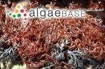 Ulva articulata Hudson