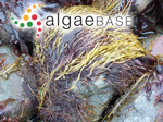 Solenia ramentacea (Linnaeus) Sprengel