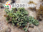 Caulerpa serrulata (Forsskål) J.Agardh
